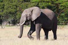 Elephant bull. A large territorial african elephant bull Royalty Free Stock Photography
