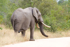 Elephant bull Royalty Free Stock Photography