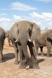Elephant bull Royalty Free Stock Images