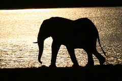 Elephant Bull Stock Photography