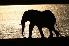 Elephant Bull. African elephant bull at sunset walking along shores of lake Stock Photography