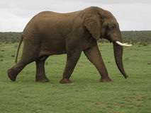 Elephant Bull. This elephant bull is in musth and on his way to some ladies Stock Images