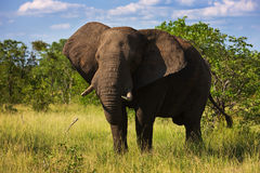Elephant bull. Large African Elephant; Loxodonta Africana; South Africa Royalty Free Stock Images