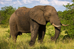 Elephant bull. Large African Elephant; Loxodonta Africana; South Africa Royalty Free Stock Photo