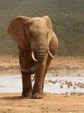 Elephant bull. Elephant bull at waterhole during a dust storm(Back ground Stock Image