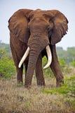 Elephant Bull. A mature Elephant Bull challenges the Photographer Stock Photos