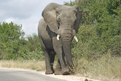 Elephant bull. Walking down the road Stock Images