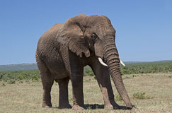 Elephant bull in Addo Park. A full grown elephant bull in Addo Park, Eastern Cape, South Africa Stock Photography