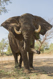 Elephant bull - Big Vic of Mana Pools. Close up of African Elephant bull (Loxodonta africana Royalty Free Stock Images