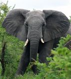 Elephant bull at the camera. Young African elephant with open ears. South Africa Royalty Free Stock Images