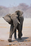 Elephant bull charging. Young Elephant bull mock charging; Loxodonta Africana; Etosha Royalty Free Stock Photos