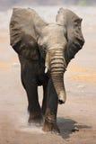 Elephant bull charging royalty free stock photo