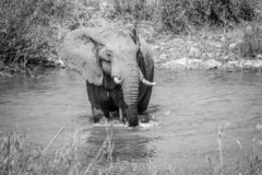 Elephant bull crossing a river. In black and white in the Kruger National Park, South Africa stock photo