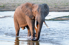 Elephant bull crossing river at sunset Royalty Free Stock Images