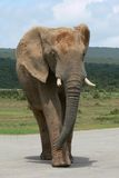Elephant bull crossing road Royalty Free Stock Photography