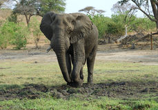 Elephant bull digging in the mud Stock Photography
