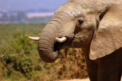 Elephant Bull Drinking Royalty Free Stock Images