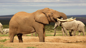 Elephant Bull Drinking Stock Image