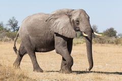Elephant bull Royalty Free Stock Photo