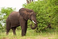 Elephant bull eating green leaves stock image