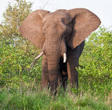 Elephant bull eating green leaves stock photos