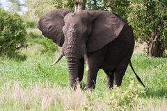 Elephant bull eating green leaves Royalty Free Stock Photo