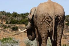 Elephant Bull From Behind Stock Photo