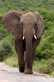 Elephant bull head on. A young bull elephant walking down the road in Addo, South Africa Royalty Free Stock Photos