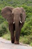 Elephant bull head on Royalty Free Stock Photos