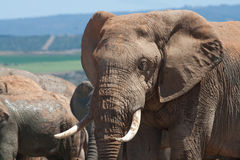 Elephant bull with ivory tusks Royalty Free Stock Images
