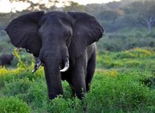 Elephant Bull at Kazungula, Zimbabwe Stock Photography