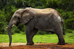 Elephant bull. Royalty Free Stock Photo
