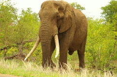 Southern african animals. Elephant bull with large tusks Stock Images