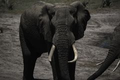 Elephant bull with large tusks at Tembe Elephant park Stock Image