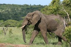 Elephant bull marching. An elephant bull marches across the grassland Royalty Free Stock Photography