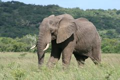 Elephant bull marching. An elephant bull marches across the grassland Stock Photo