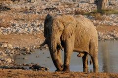 Elephant bull at mud shower. Etosha nationalpark, namibia, loxodonta africana Royalty Free Stock Photos