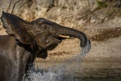 Playing elephant in river royalty free stock photo
