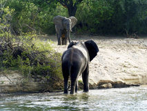 Elephant bull meets another elephant. An elephant bull rises from the water and meets another elephant on the shore Royalty Free Stock Images