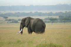An elephant bull. In the savanna in Kenya Royalty Free Stock Photo