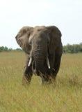 An elephant bull. In the savanna in Kenya Stock Image