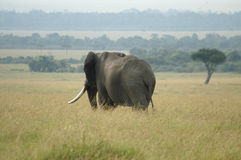 An elephant bull. In the savanna in Kenya Stock Images
