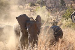 Elephant bull. Shaking off after dust bath Royalty Free Stock Image