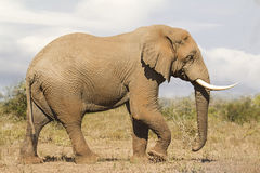 Elephant Bull Side view. A side view on a Large African Elephant Bull Tusker, walking across the Savannah in Kruger National Park, South Africa Stock Photo