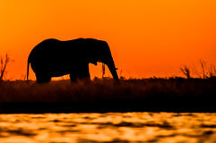 Elephant Bull Silhouette on Sidudu Island. Stock Images