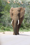 Elephant bull. Single male elephant bull with tusks walking Stock Image
