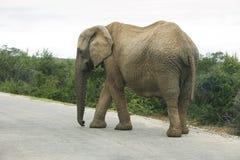 Elephant bull. Single male elephant bull with tusks walking Stock Images