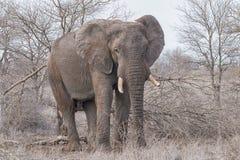 Elephant bull. Standing elephant bull in the dry scrubland, Hwange National Park, Zimbabwe, Africa Stock Photos