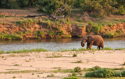 Elephant bull standing next to river Stock Photos