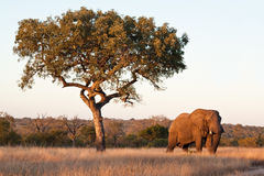Elephant bull walking in nature Royalty Free Stock Images
